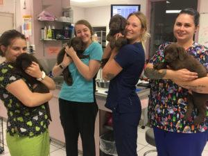 8 week old chocolate Labrador Retrievers